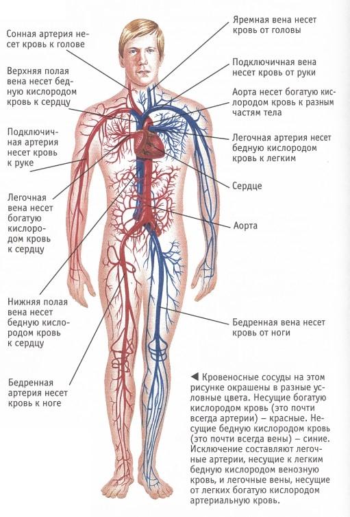 Человеческое тело является