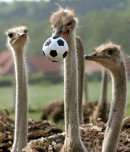 Васи нет > Животные тоже играют в футбол (14 фото)