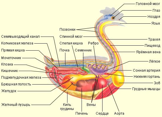 общее строение птиц