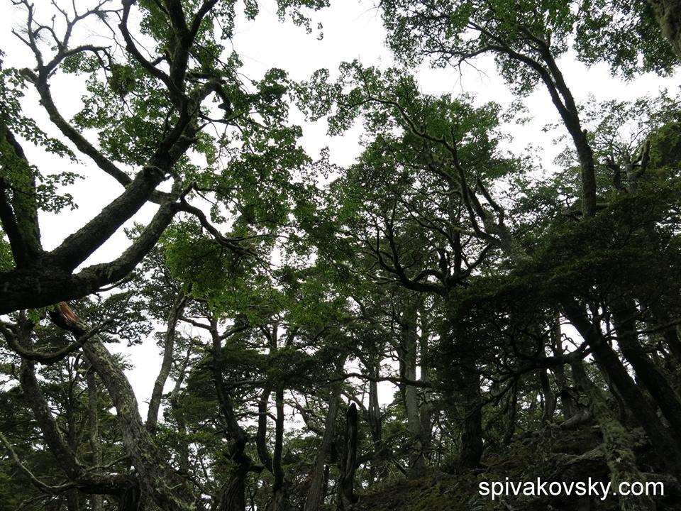 Репортажик из Южной Америки №17. Леса Патагонии.