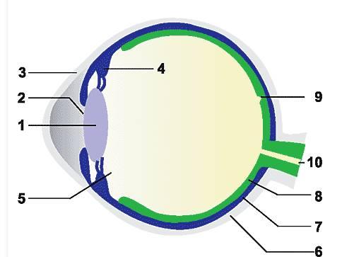 Строение глаза схема без подписи