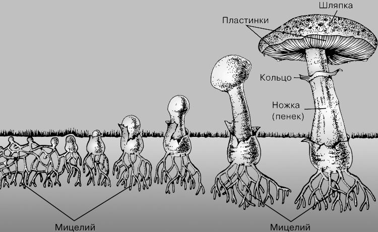 Опишите строение грибного