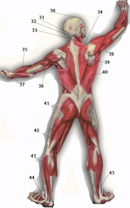 мышцы мышцы